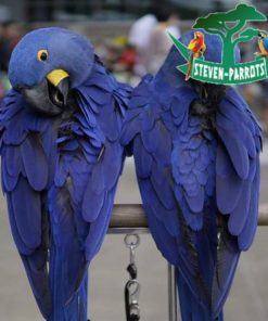 hyacinth macaw for sale near me