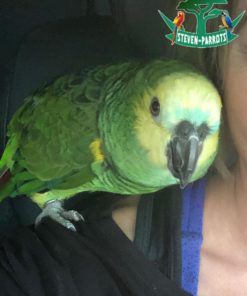 Turquoise amazon parrots for sale