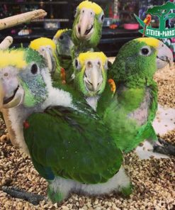 amazon parrots for sale