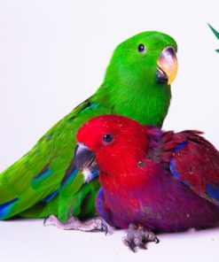 eclectus parrots for sale near me
