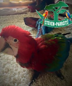 green winged macaw parrots for sale
