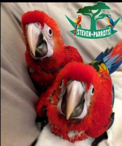 scarlet macaw for sale in California