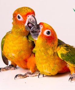 baby sun conure for sale near me