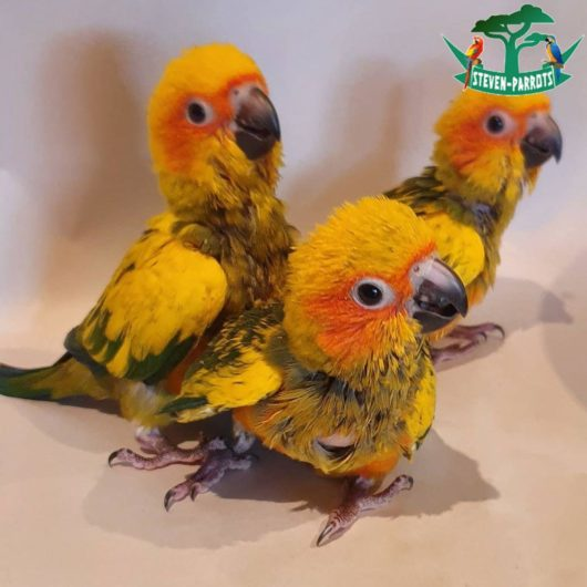 baby sun conure for sale