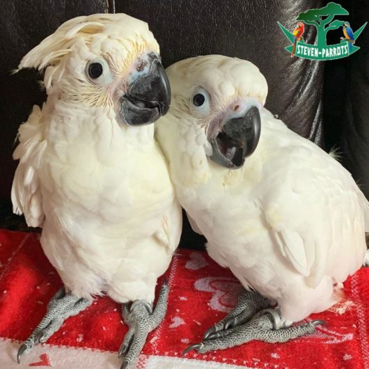 cockatoo parrots for sale in new york
